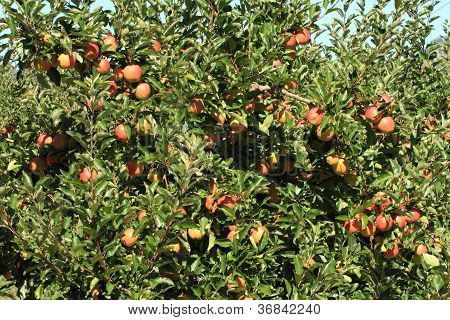Apple Orchard 04