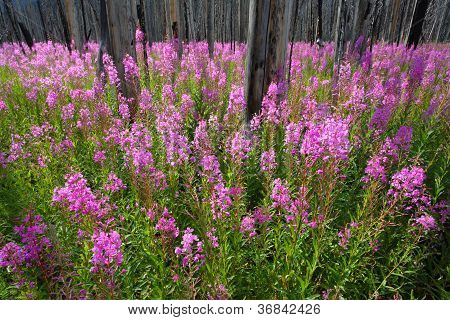 Fireweed Wildflowers In A Burnt Forest