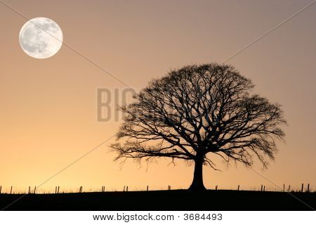Winter Oak And Full Moon
