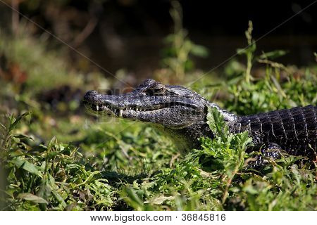 Caiman In Wetlands