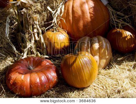 Close Up Of Several Pumpkins