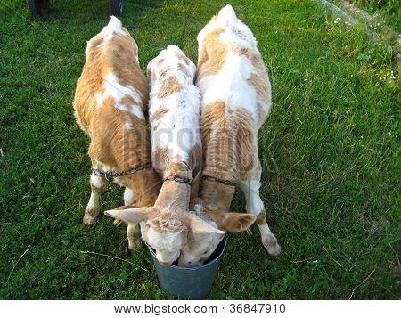 three calfs drinking the water