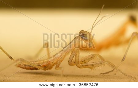Praying Mantis (Mantodea) Nymph