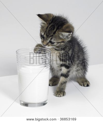 Kitten And A Glass Of Milk