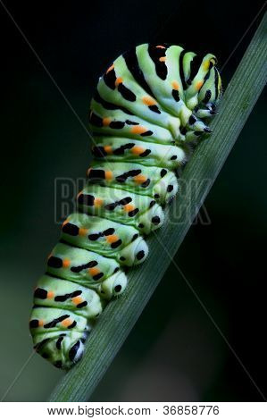 Bruco Di Papilionidae