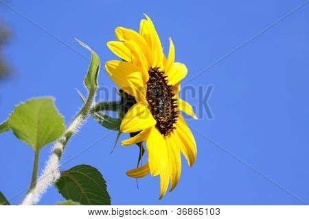 Yellow Sunflower.