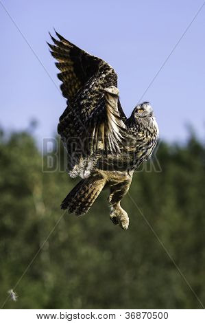 European Eagle Owl Ascending To Flight