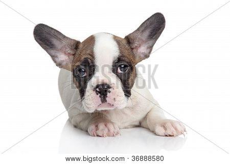 French Bulldog Puppy Portrait