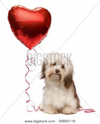 Lover Valentine Havanese