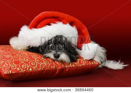 Cute Havanese Puppy Dog With Santa Hat On Red Cushion