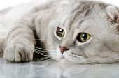 stock photo of scottish-fold  - fluffy gray beautiful adult cat breed scottish - JPG