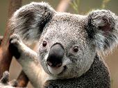 pic of por  - coala em cima de uma arvore tirada por mim - JPG