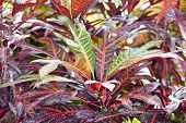 stock photo of crotons  - Croton  - JPG