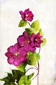 Watercolored Crimson Clematis