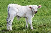 pic of charolais  - White calf grazing on a green field - JPG
