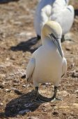 stock photo of gannet  - Colony of Northern Gannets sunbathing off Bonaventure Island Quebec - JPG