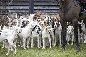 picture of bloodhound  - A pack of hounds ready for action - JPG