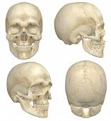 pic of mandible  - A illustration containing four views front side rear and angled front of a human skull - JPG