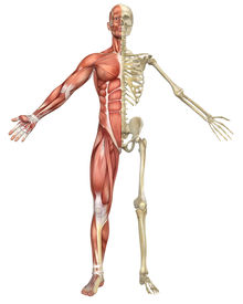 stock photo of head femur  - A front split view illustration of the male muscular skeleton anatomy - JPG