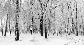 foto of snow forest  - Cover of first snow on a forest - JPG