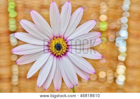 Osteospermum Daisy Flower
