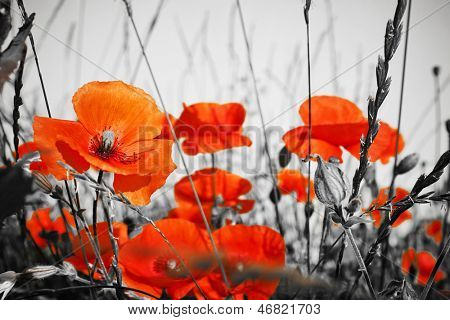 red poppies on BW field