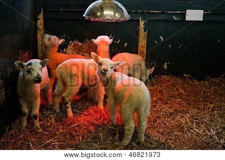 Junge Lamm unter Wärmelampe
