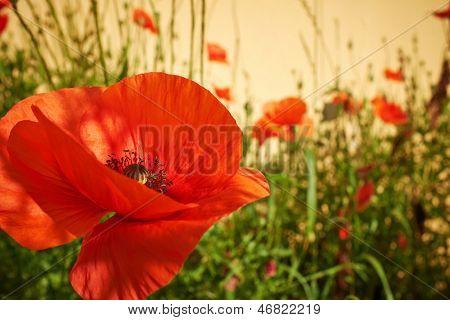 Field of  Poppy Flowers Papaver rhoeas in Spring
