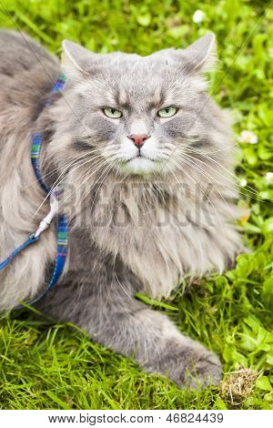 Big gray cat with long hair ready to attack