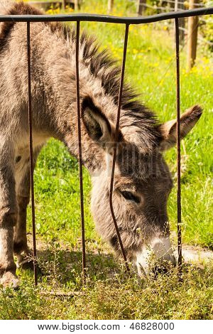 Donkey In A Field In Sunny Day Eating Grass.