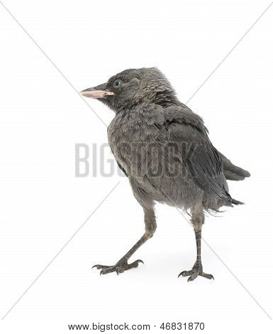 Jackdaw Bird Close-up Isolated On White Background