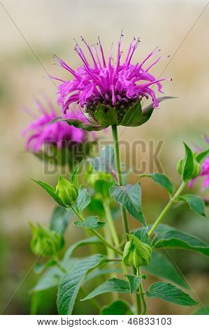 Monarda Fistulosa Flower In Garden
