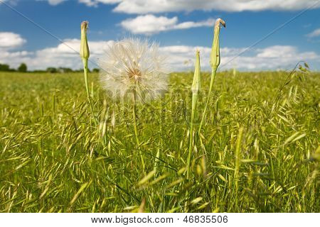 yellow salsify with seed head, Kansas pasture