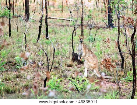 Kangaroo in wild Australia