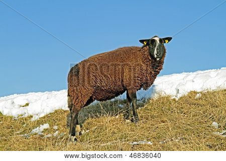 Black sheep on the dyke in the countryside from the Netherlands in winter