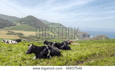 Cows With Sea