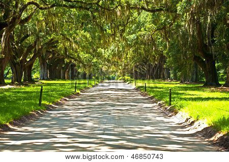 Oak Alley In Entrance Of Plantation