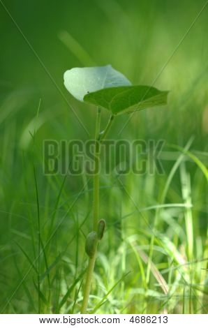 Young Bean Plant