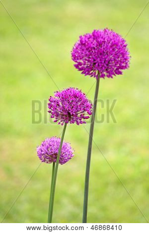 beautiful allium flowers in garden setting, focus on central flower.