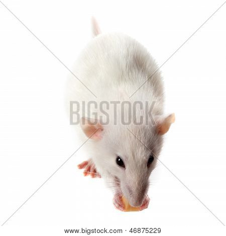 Fancy Rat Eating Piece Of Cheese