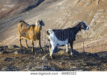 wild goats in the mountains of Lanzarote
