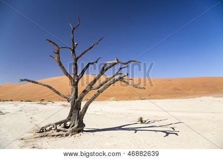 Camel thorn tree - Deadvlei