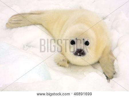 Baby harp seal pup on ice of the White Sea