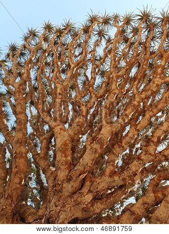 Spiky leaves of Dragon tree - Dracaena cinnabari - Dragon's blood - endemic tree from Soqotra, Yemen
