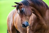 image of bridle  - Horse portrait outside in field - JPG