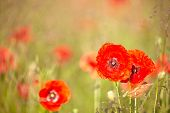 stock photo of poison  - Red poppies  with out of focus poppy field in background - JPG