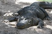 picture of crocodilian  - large american alligator with one eye in the sand - JPG