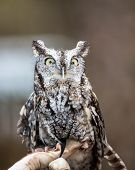 stock photo of screech-owl  - An Eastern Screech Owl in a hallowed out tree - JPG