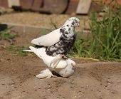 foto of copulation  - Pigeon copulation decorative white Doves summer time - JPG