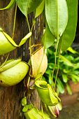 foto of nepenthes-mirabilis  - Tropical pitcher plants or Monkey cups in garden - JPG